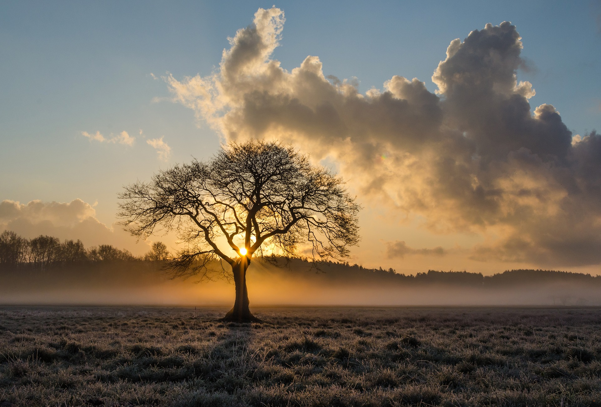 A Lone Oak tree in the sunrise on a fog covered field