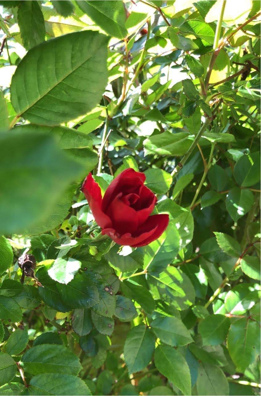 A Single Rose on the vine