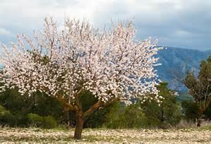 A flowering alomond tree