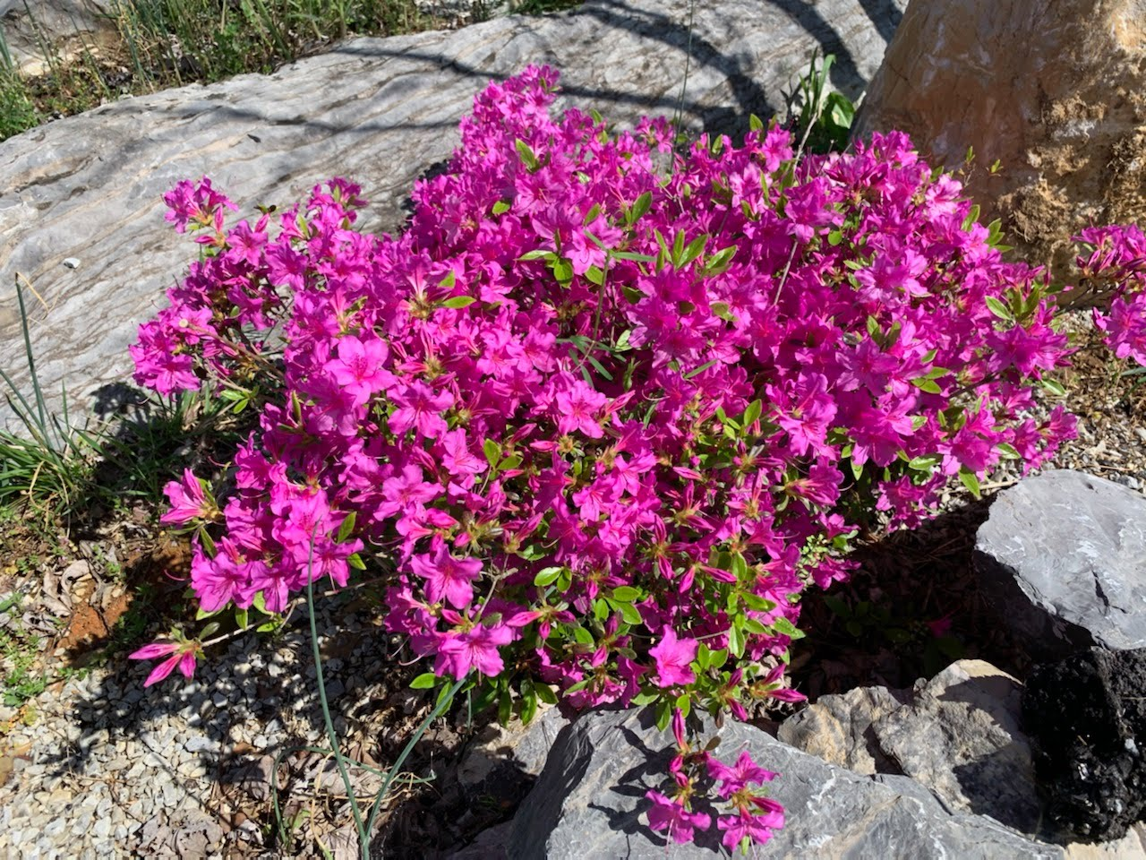 pink flowers with large rock in background